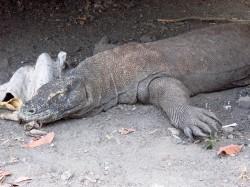 Komodo (39)