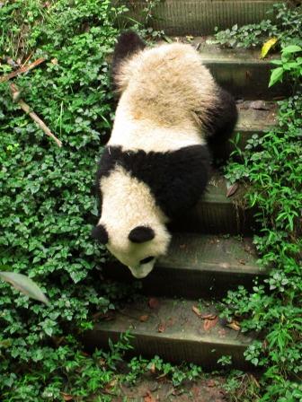 Panda (19)