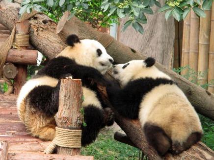 Panda (29)