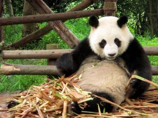 Panda (39)