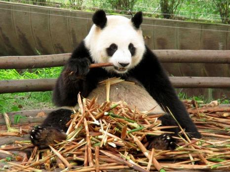 Panda (41)