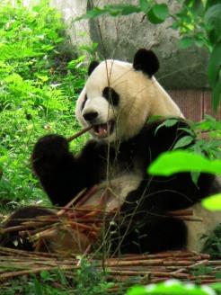Panda (44)