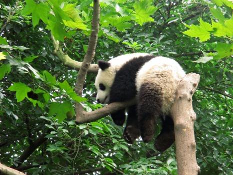 Panda (45)