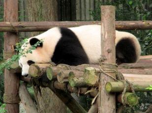 Panda (56)