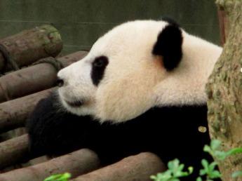 Panda (57)