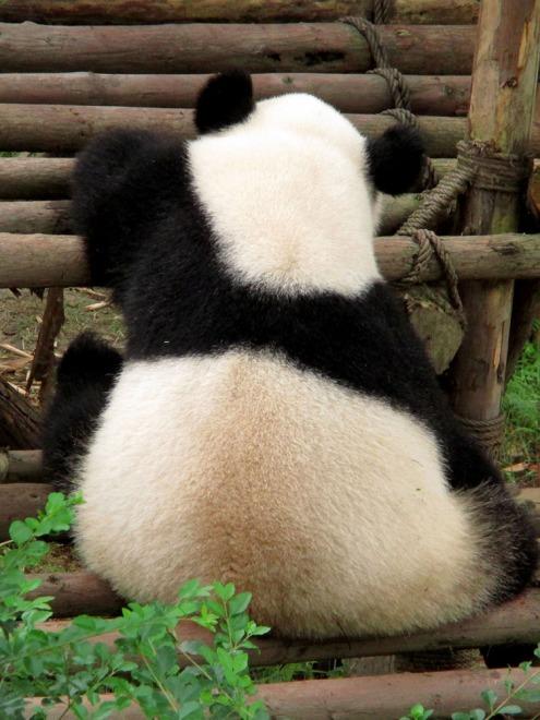Panda (58)