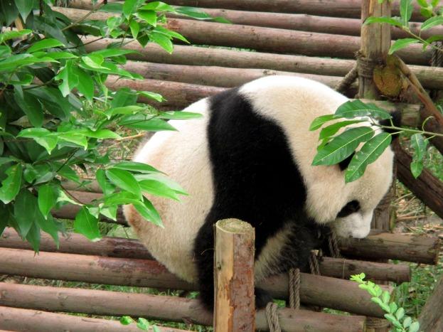 Panda (59)