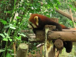 Panda (71)
