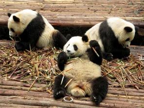 Panda (8)